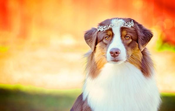 Picture look, portrait, dog, glamour, Diadema, Australian shepherd, Aussie