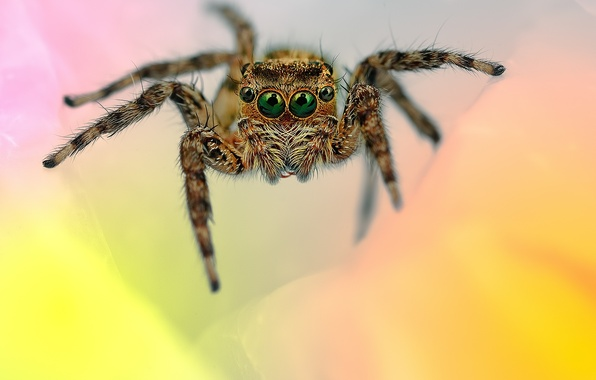 Picture eyes, legs, spider, hairs, jumper, jumper