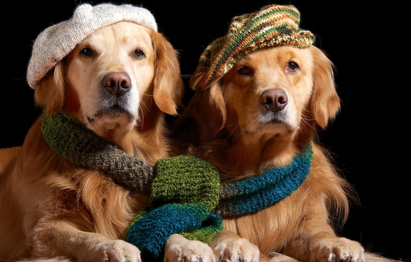 Picture scarf, pair, Golden, takes, Retriever