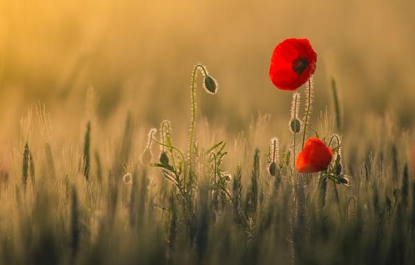 Picture field, light, flowers, heat, Maki, red
