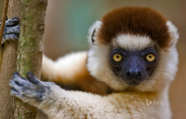 Picture lemur, Madagascar, the primacy of, sifaka, Verro, crested sifaka, crested indri