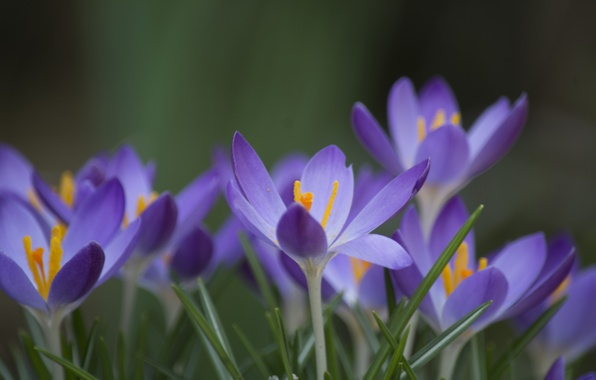 Picture grass, flowers, green, background, focus, spring, petals, lilac, Crocuses
