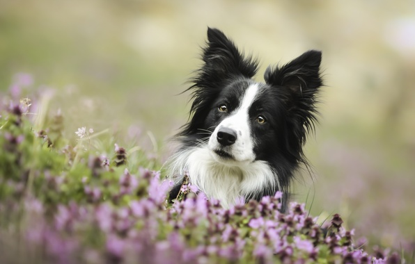 Picture look, face, flowers, dog, The border collie