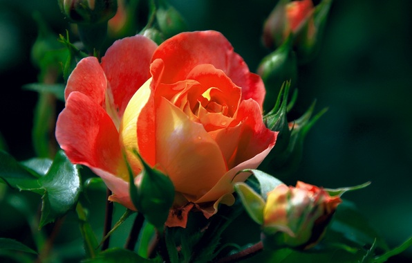 Picture macro, rose, buds
