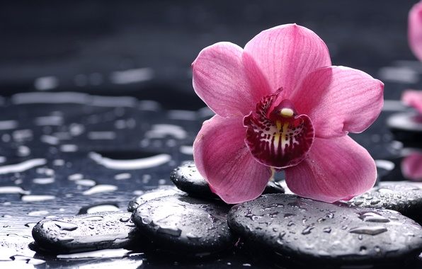 Picture flower, drops, macro, stones, pink, Orchid, black, orchid, smooth