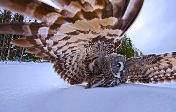 Picture winter, snow, trees, nature, bird, wings, feathers, hunting, the great grey owl