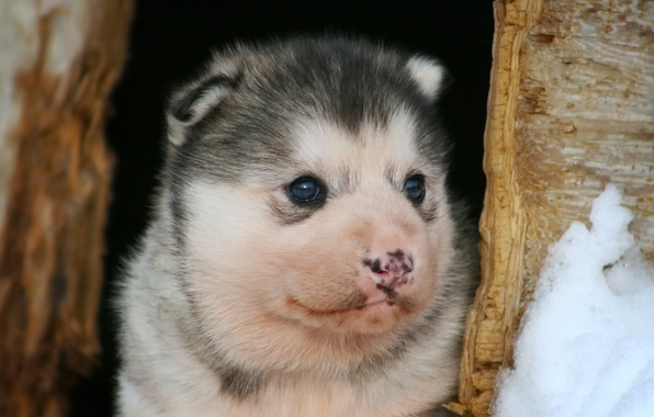Picture dog, baby, puppy, face, husky