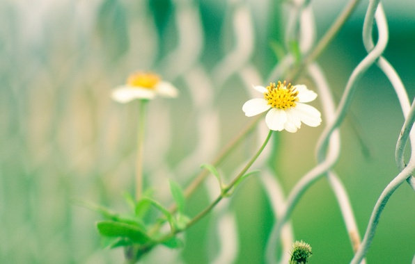 Picture white, macro, flowers, yellow, green, background, mesh, widescreen, Wallpaper, the fence, blur, gate, the fence, …