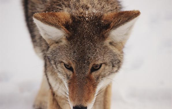 Picture winter, face, snow, Fox, Fox, fur, fox