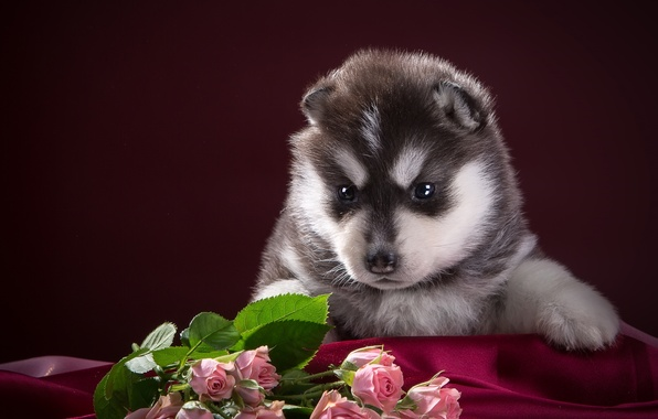 Picture black and white, roses, puppy, fabric, husky, spotted