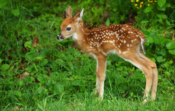Picture grass, deer, cub, fawn, white-tailed deer