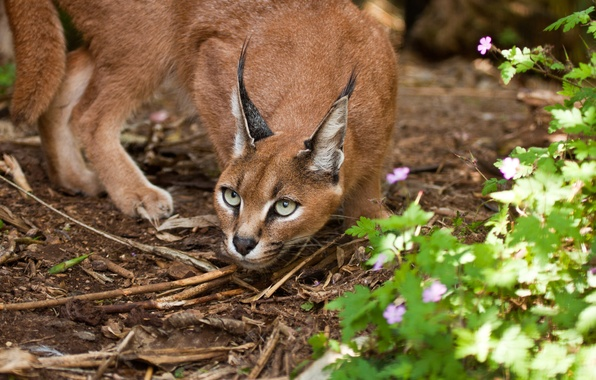 Picture cat, look, Caracal, steppe lynx