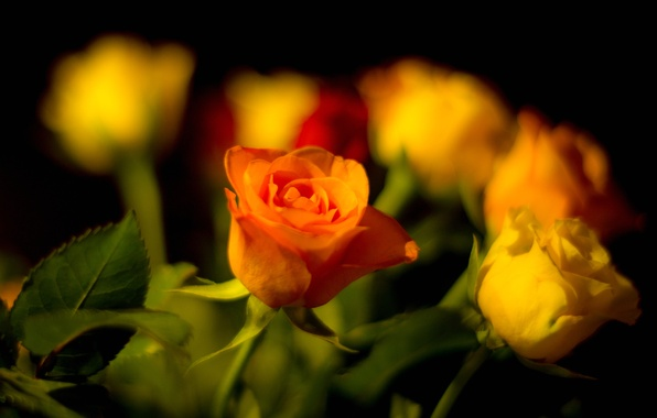 Picture leaves, rose, bouquet, petals, Bud
