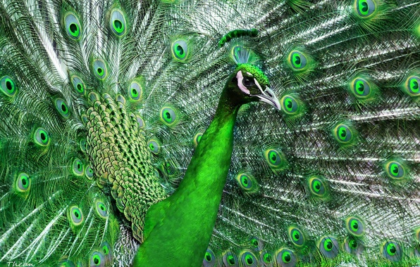 Picture green, bird, feathers, tail, peacock, beautiful