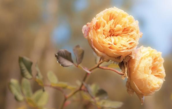Picture macro, light, flowers, tenderness, rose, color, roses, treatment, petals, orange, buds, peach