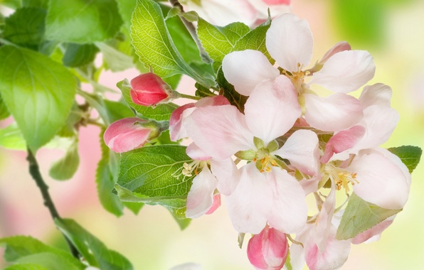 Picture leaves, flowers, beauty, spring, petals, gentle, pink, white, white, Apple, buds, flowering, pink, flowers, leaves, …