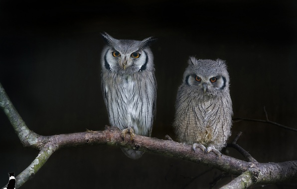 Picture two, branch, owls, the dark background