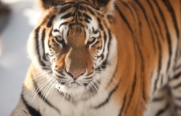 Picture cat, face, tiger, Amur