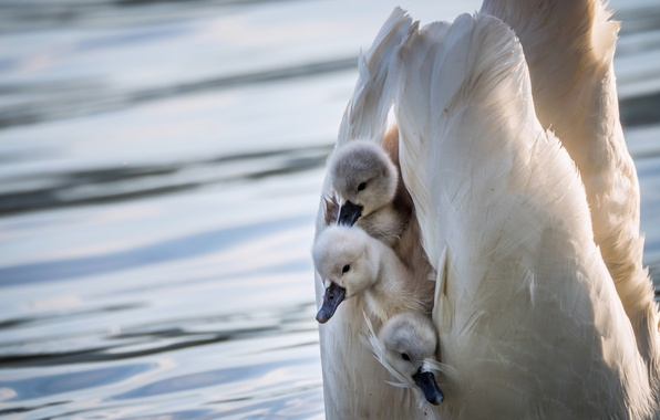 Picture birds, wings, shelter, swans, Chicks