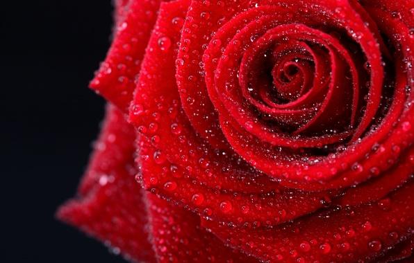Picture flower, color, drops, photo, gentle, romance, black, rose, beauty, wet, colors, photos, red, rose, beautiful, …