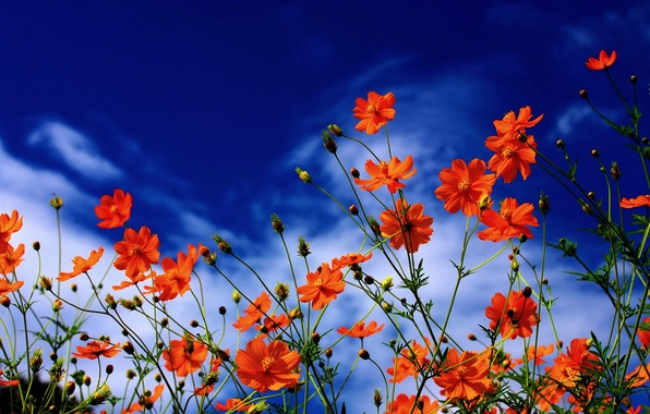 Picture the sky, clouds, nature, petals, kosmeya