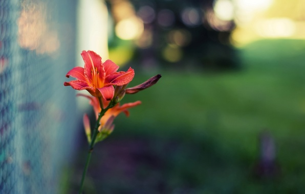 Picture greens, flower, macro, flowers, red, background, mesh, widescreen, Wallpaper, blur, blur, the fence, beautiful, wallpaper, …