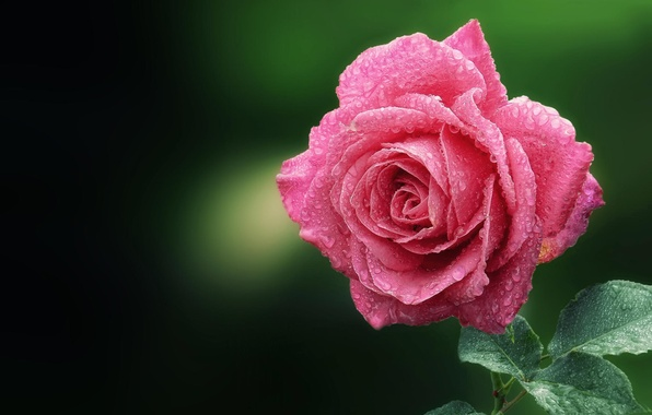 Picture flower, drops, macro, Rosa, pink, rose