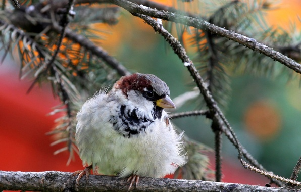 Picture nature, bird, branch, Sparrow, needles