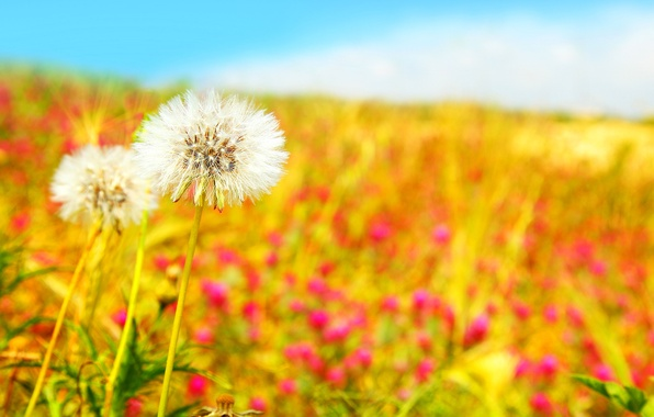 Picture field, the sky, flowers, nature, blue, spring, white, dandelions, dandelions, Beautiful field