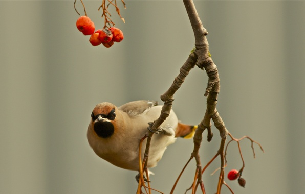 Picture autumn, berries, bird, focus, branch, the Waxwing