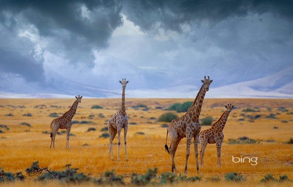 Picture the sky, clouds, giraffes, Africa, Namibia