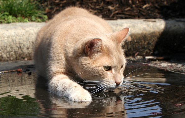 Picture cat, look, face, water, thirst