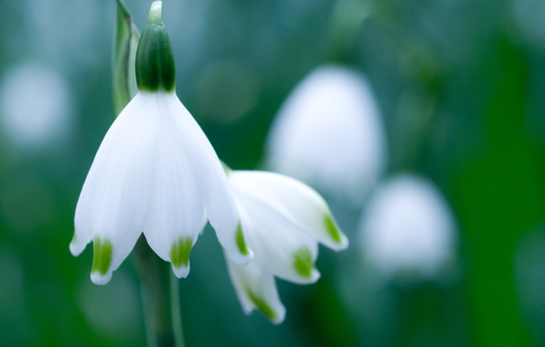Picture greens, white, flower, macro, spring, snowdrop