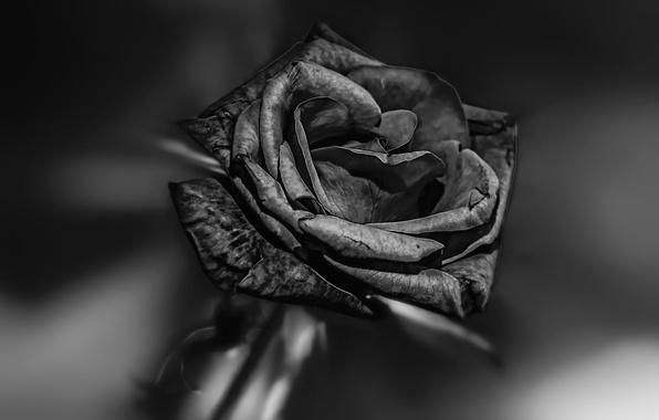 Picture rose, black, BLACK BEAUTY
