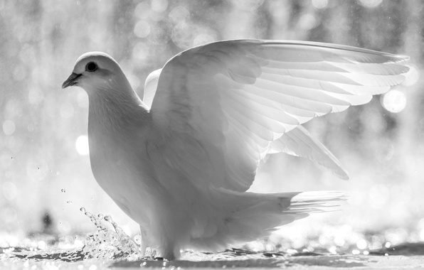 Picture white, water, squirt, bird, dove, wings, feathers