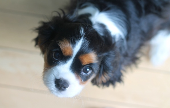Picture look, dog, puppy, face, Spaniel, The cavalier king Charles Spaniel