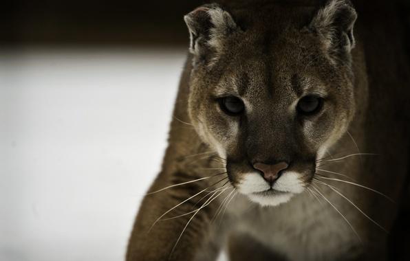 Picture face, predator, Puma, wild cat, mountain lion, Cougar