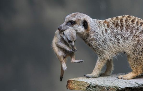 Photo wallpaper cub, meerkat, carrying