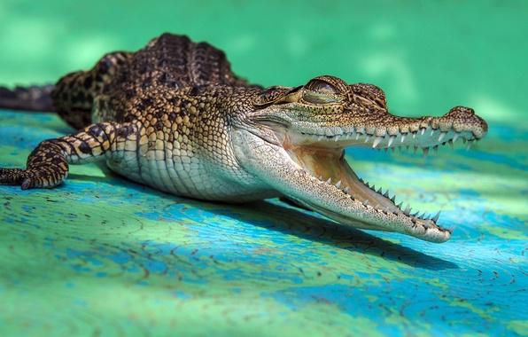 Picture teeth, crocodile, mouth, crocodile