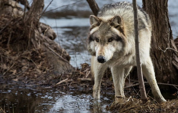 Picture face, wolf, predator, tree, pond