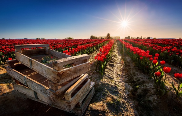Picture field, light, flowers, nature, tulips, boxes