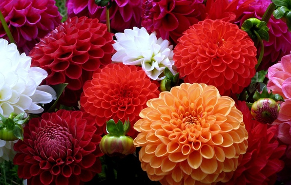 Picture white, flowers, orange, red, colors, dahlias