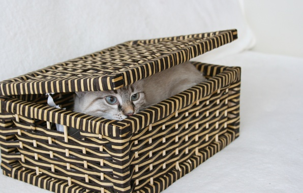 Picture cat, eyes, look, cats, background, box, Wallpaper, hid