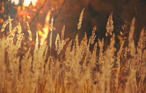 Picture field, autumn, the sun, light, landscape, nature, gold, ears