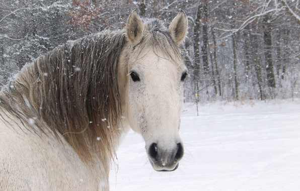Picture white, face, horse, horse