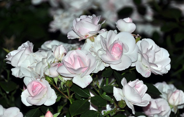 Picture flowers, roses, bouquet, gentle, white