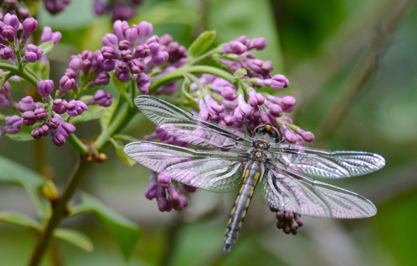 Picture macro, branch, dragonfly, lilac