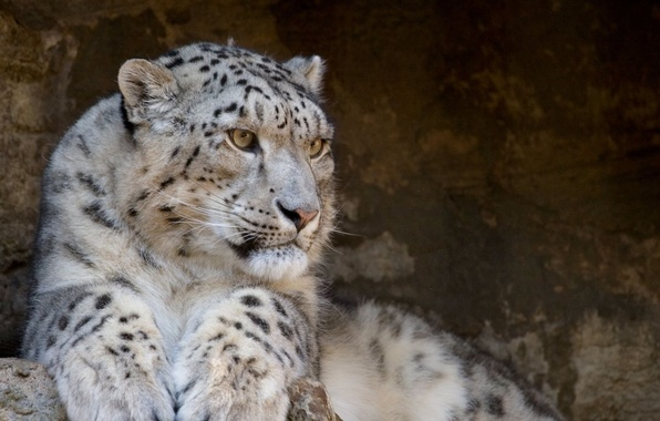 Picture predator, Snow Leopard, IRBIS, snow leopard, wild cats