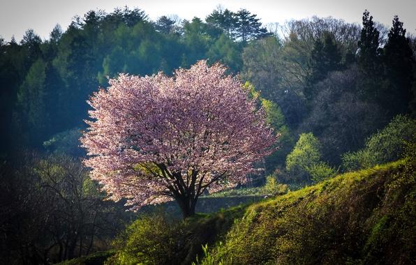 Picture forest, nature, tree, Japan, Sakura, flowering, Nagano
