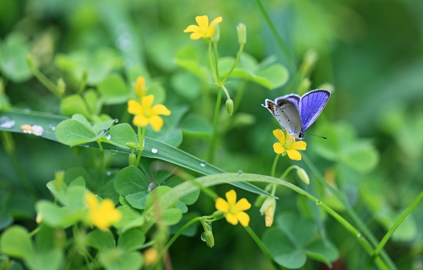 Picture greens, leaves, drops, macro, flowers, nature, Rosa, butterfly, plants, yellow, clover, insect